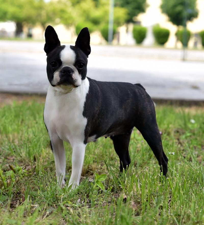 Allevamento e selezione del Boston Terrier