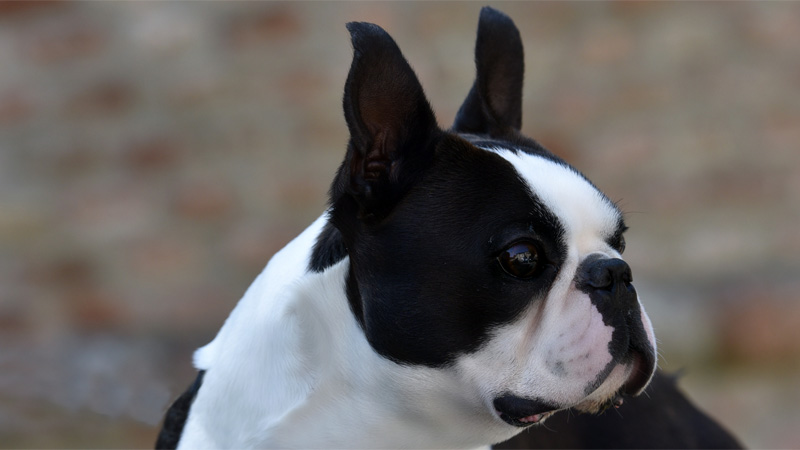 Campioni di Boston Terrier maschi - Circle J's Majestic Happy@Primo Cavaliere