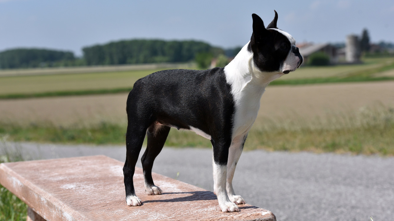 Standard del Boston Terrier