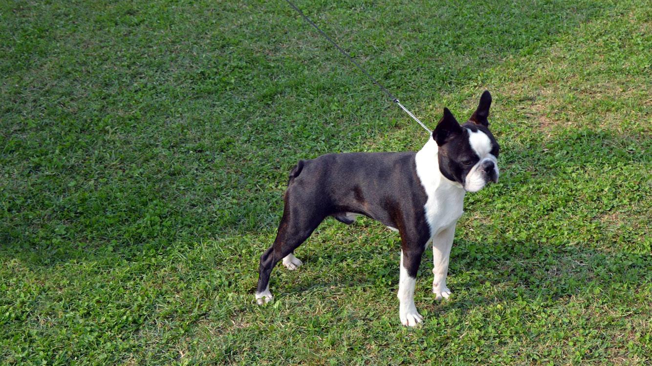 Storia della razza Boston Terrier