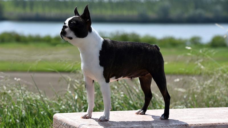 Primo Cavaliere Geraldine - Campioni femmine Boston Terrier