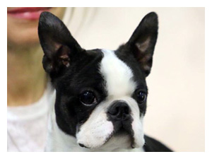 Cuccioli Boston Terrier