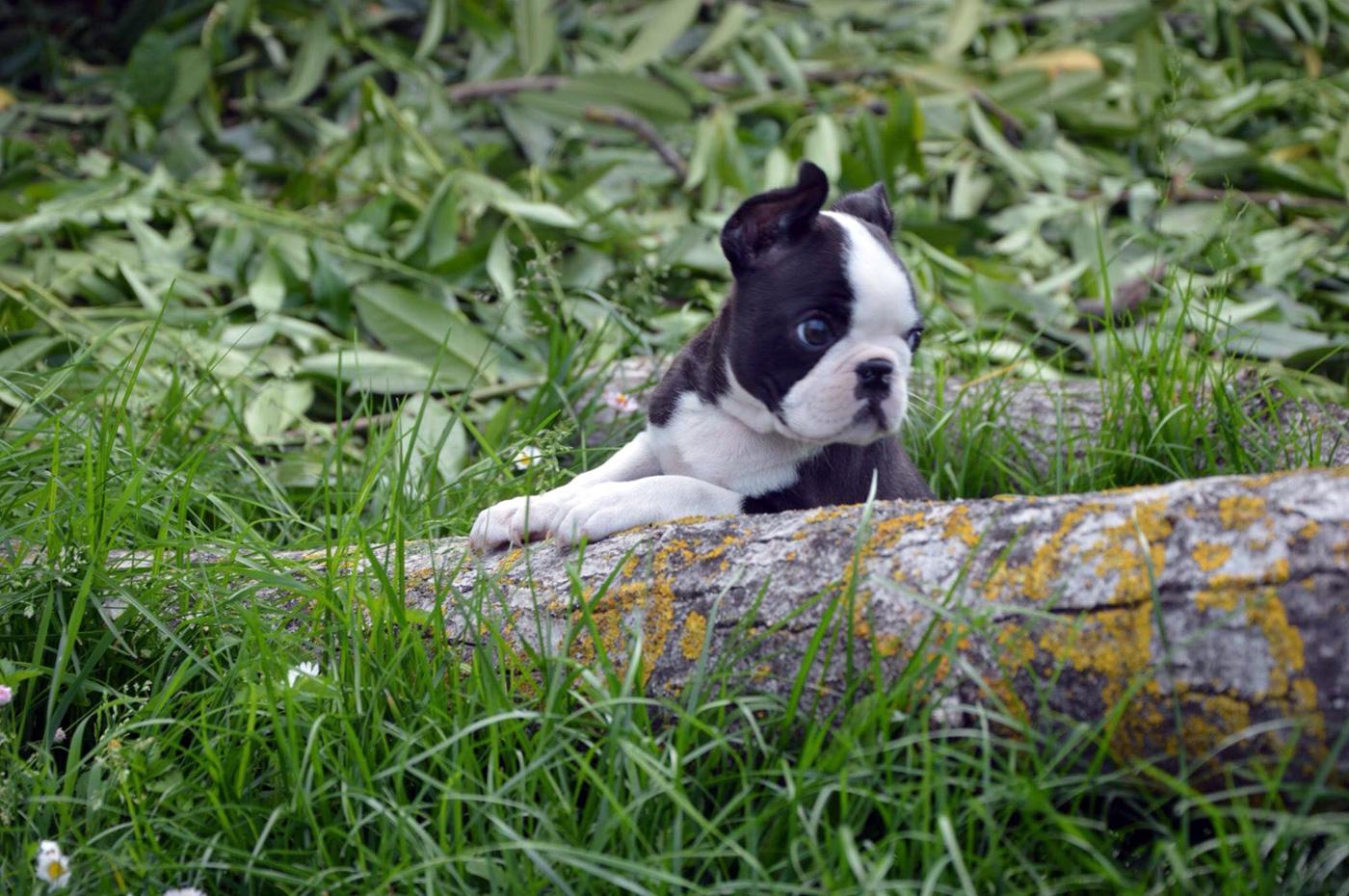 Vendita Cuccioli Boston Terrier - Allevamento Primo Cavaliere