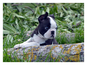 Cuccioli di Boston Terrier