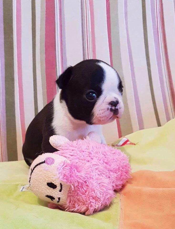 Cuccioli Boston Terrier - Allevamento Primo Cavaliere