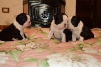 Cuccioli di Boston Terrier - Allevamento Primo Cavaliere