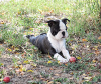 Cucciolo Boston Terrier - Allevamento Primo Cavaliere