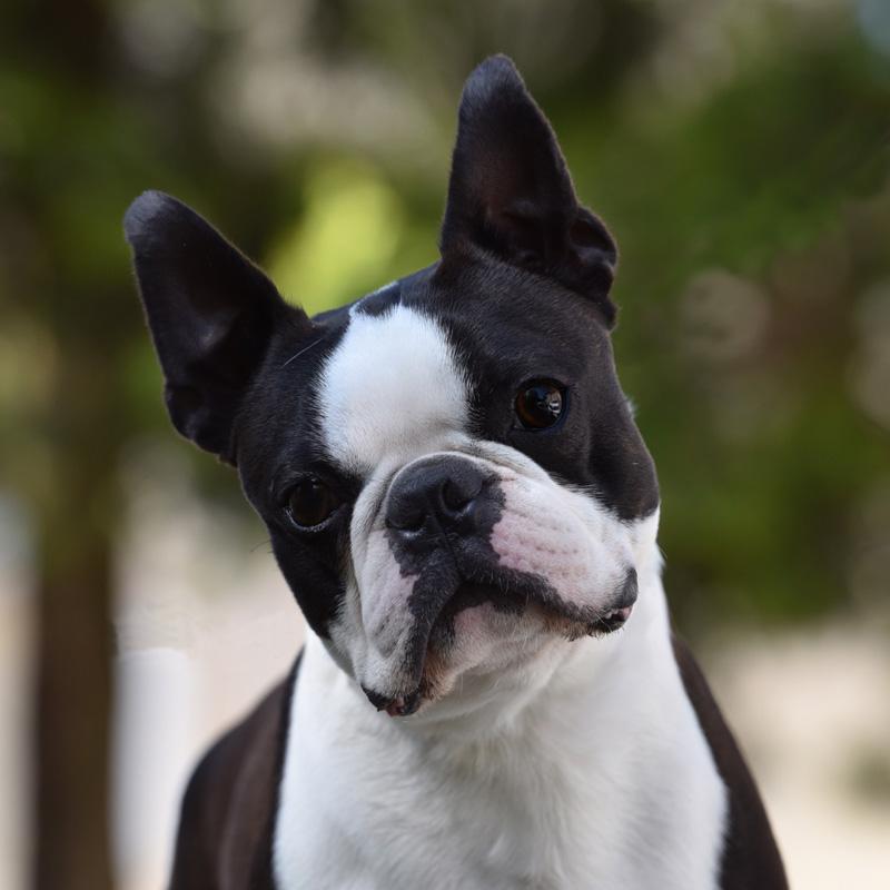 Boston Terrier maschio