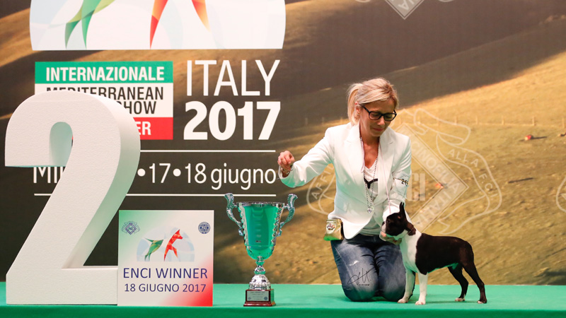 Campioni di Boston Terrier femmine - Felicita at Primo Cavaliere Secutor