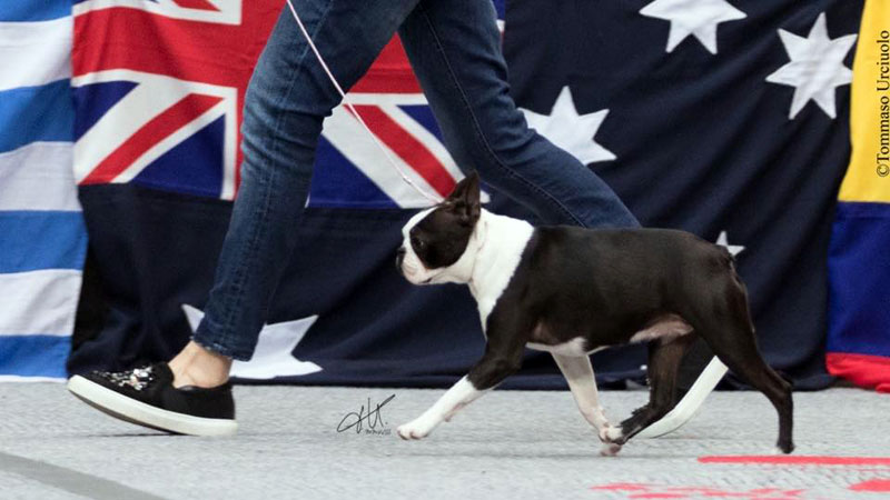 Campioni di Boston Terrier femmine - Primo Cavaliere Love Me Forever