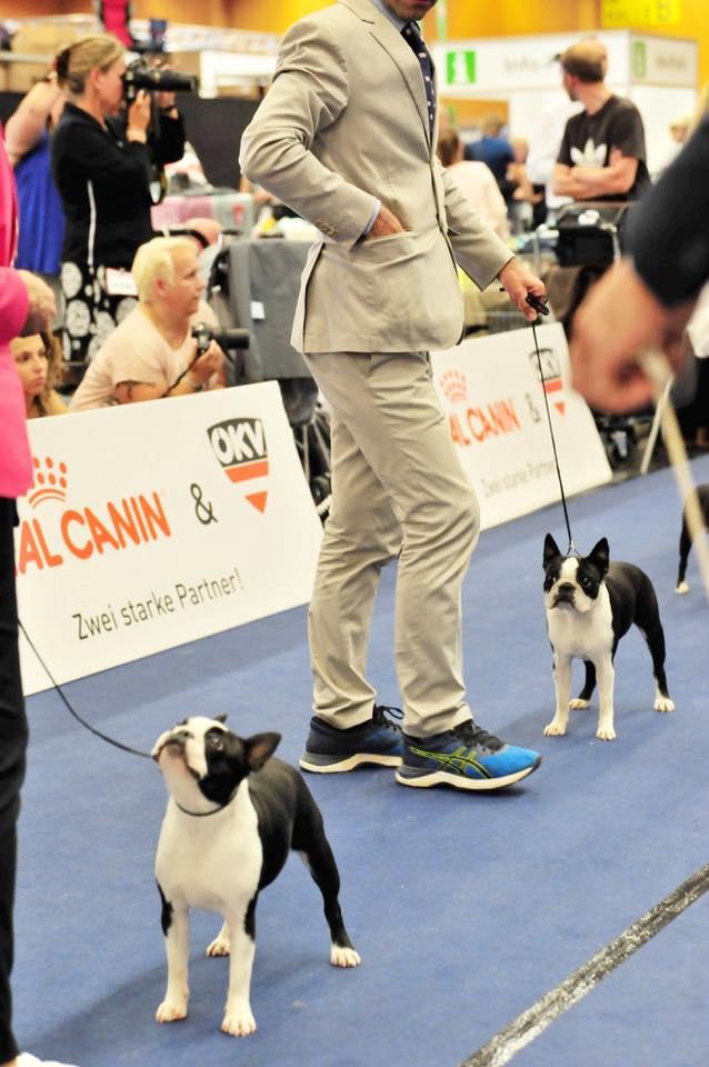 EDS Wels Boston Terrier