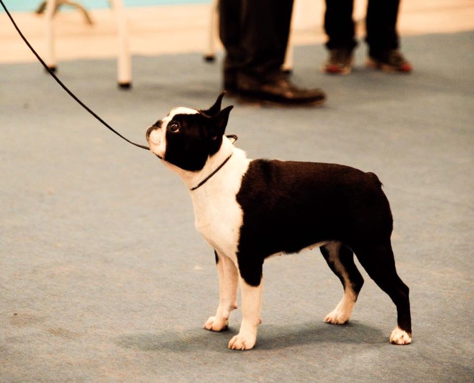 IDS Gonzaga Boston Terrier