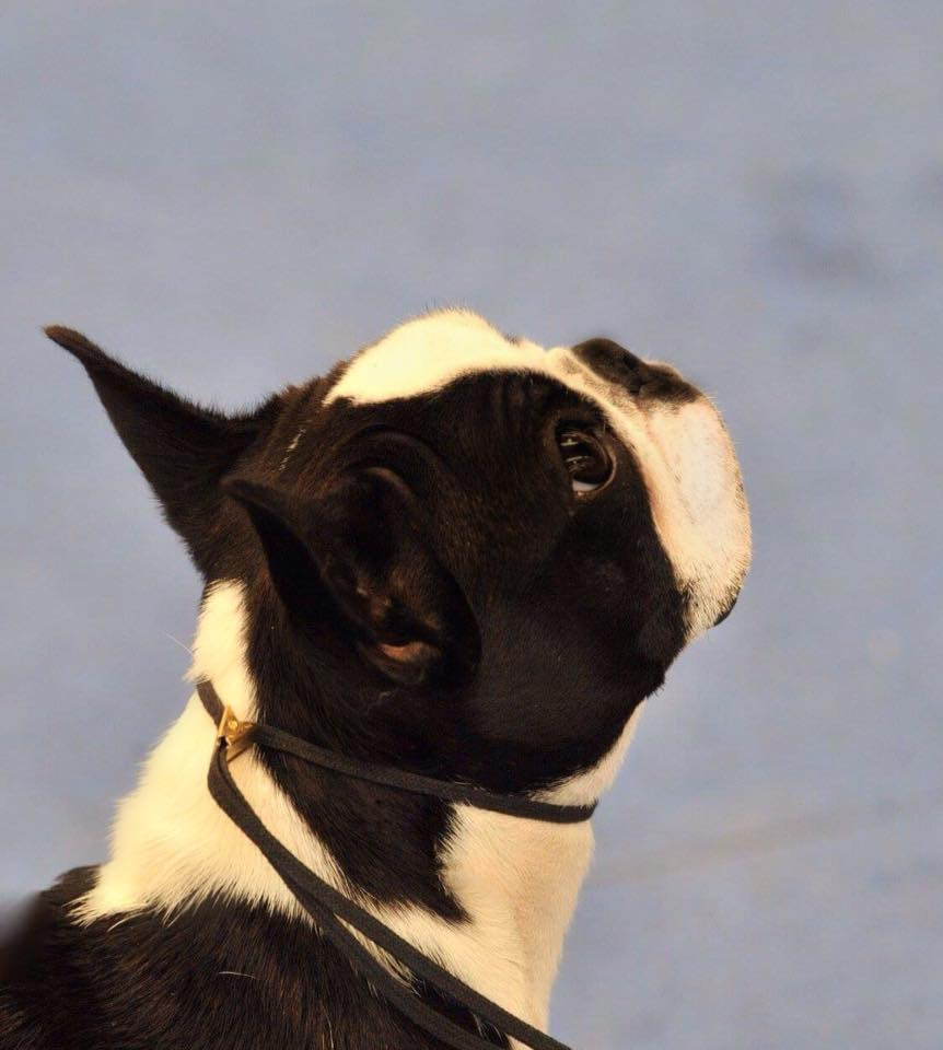IDS Gonzaga Boston Terrier