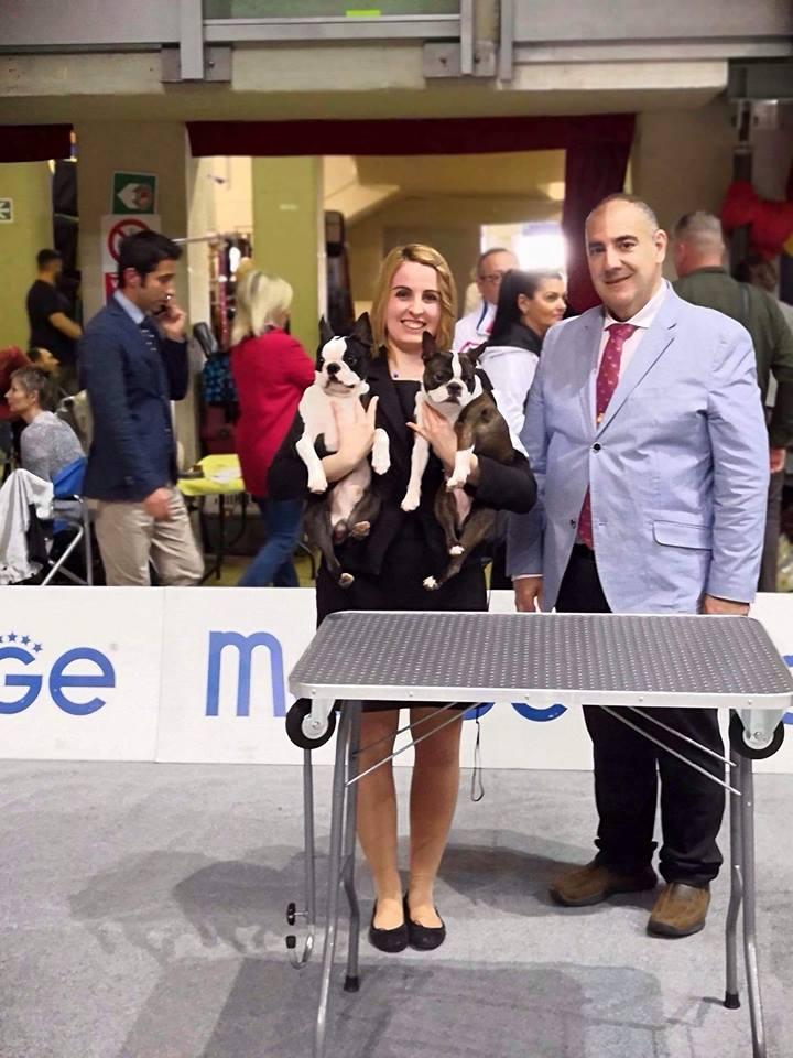 IDS Livorno Boston Terrier