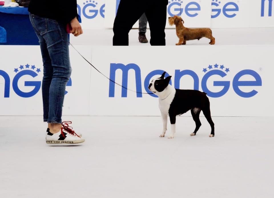 IDS Ravenna Boston Terrier