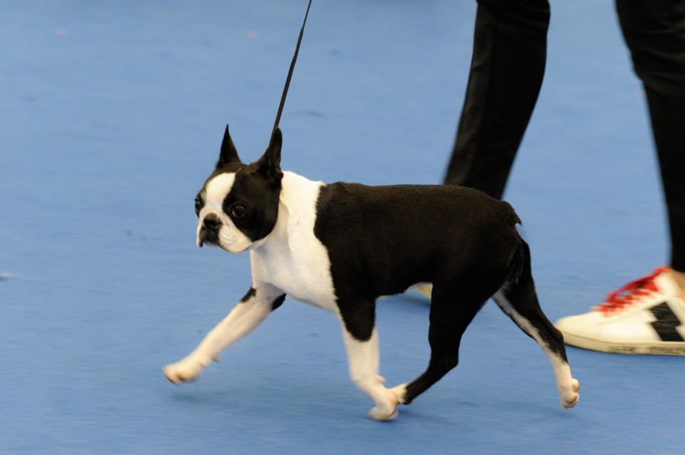 IDS Reggio Emilia Speciale Boston Terrier