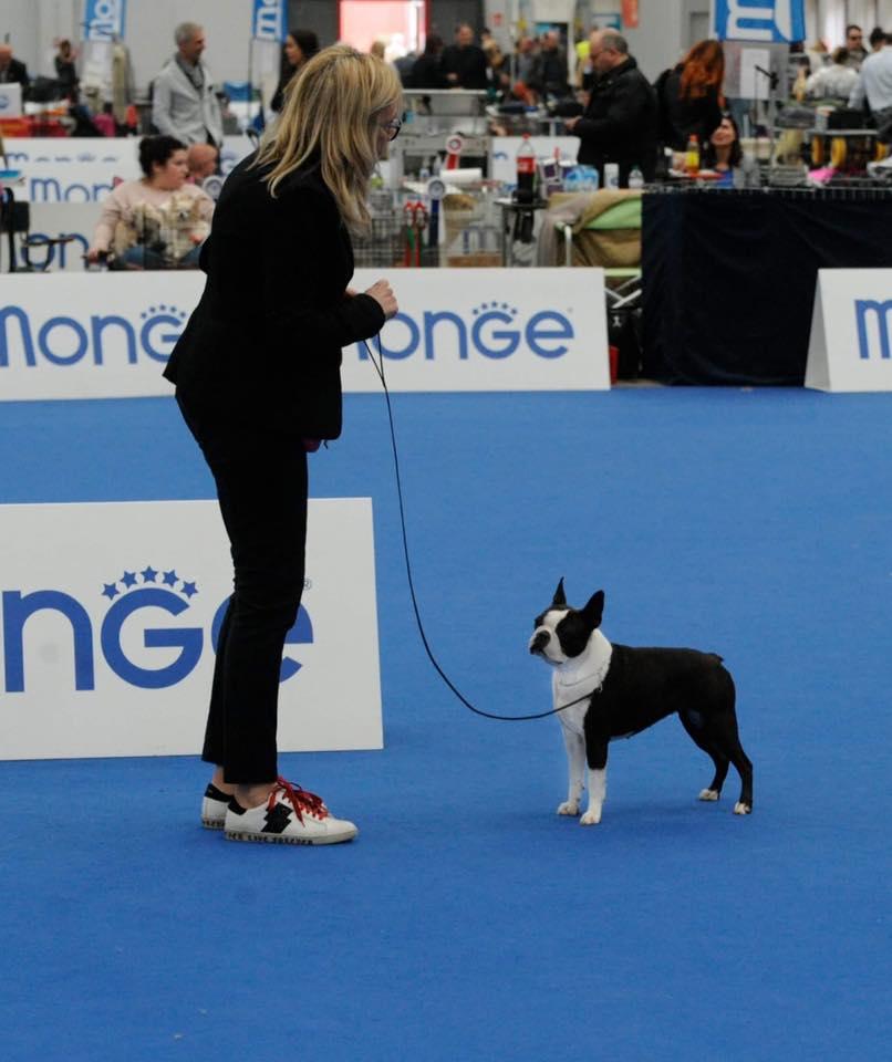 IDS Reggio Emilia Speciale Boston Terrier 2