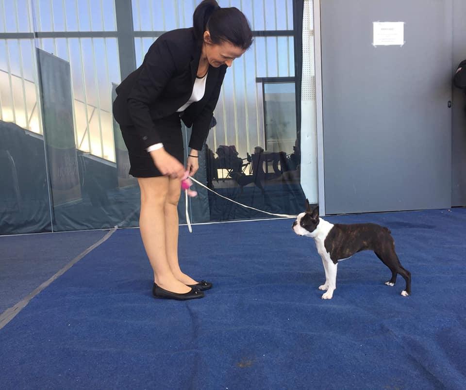 IDS Rijeka Boston Terrier