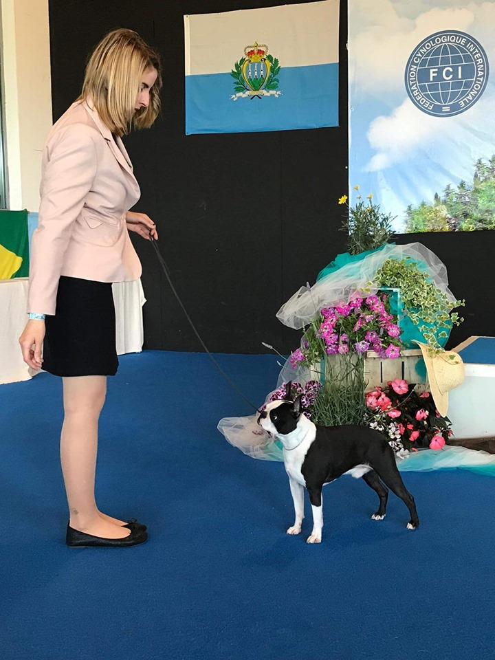 IDS San Marino Boston Terrier