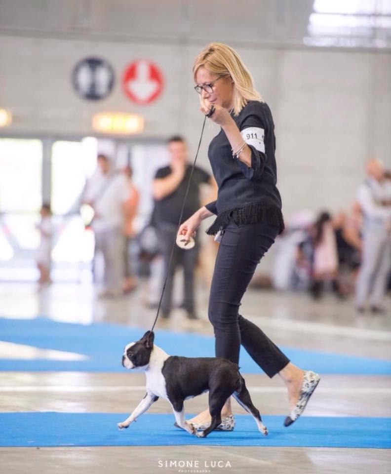 IDS Torino Boston Terrier