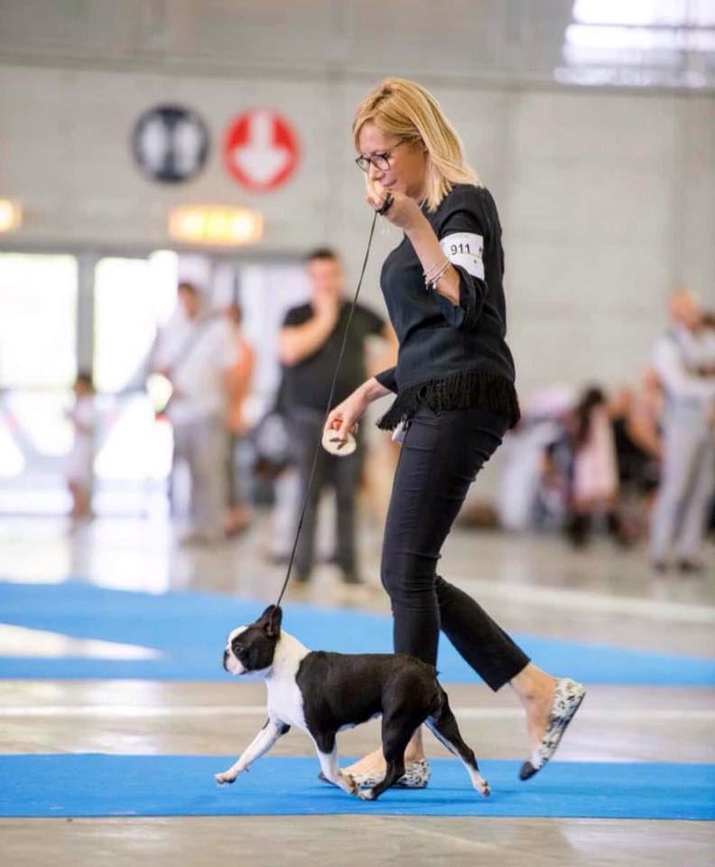 Top Dog Boston Terrier